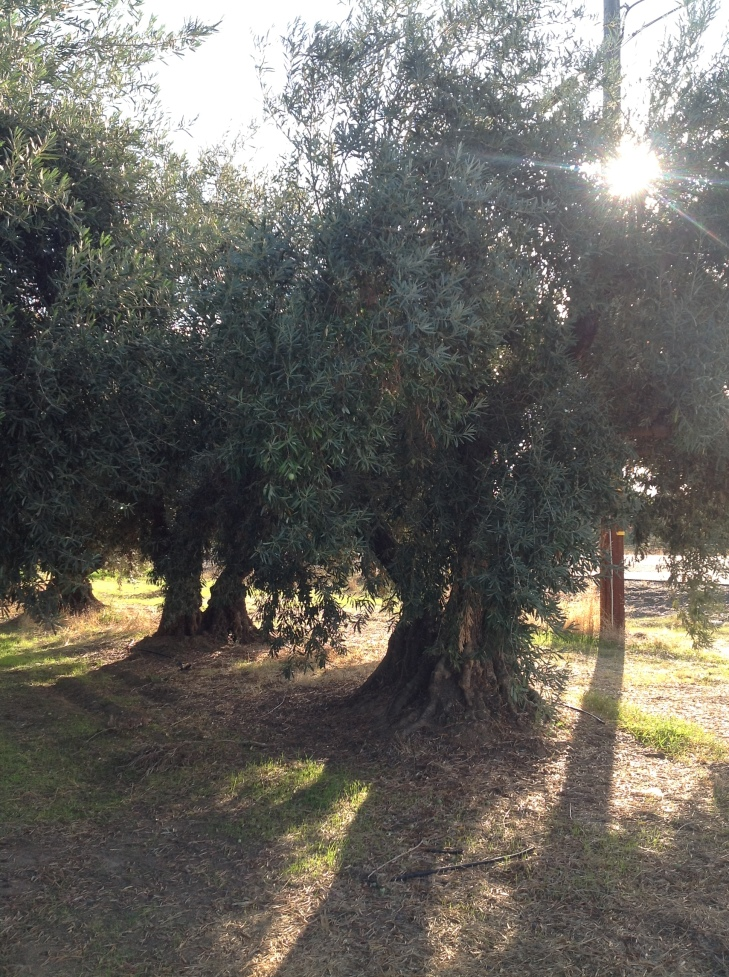 Olive Tree for CM Interview